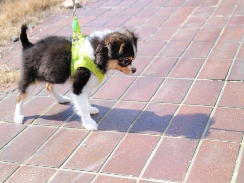 颯の散歩訓練