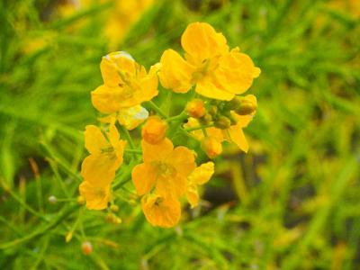 なぎさ公園・菜の花