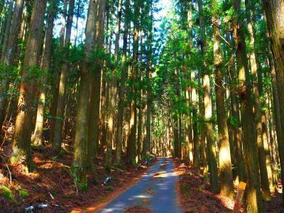 熊野の杉林1