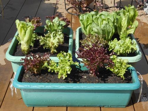 160302leaf_lettuce3