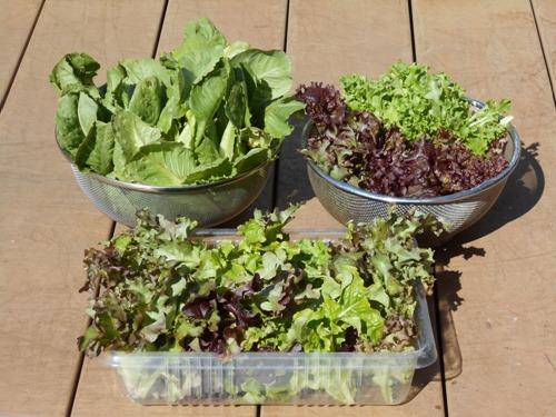 160302leaf_lettuce