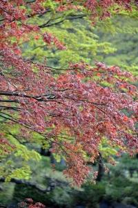 Nomura Maple