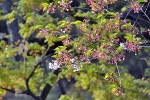 Salura Blossom Still Hanging in There