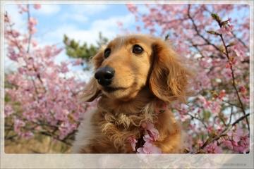 H28022717しらこ桜祭り
