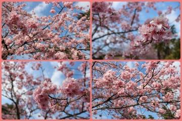 H28022716しらこ桜祭り