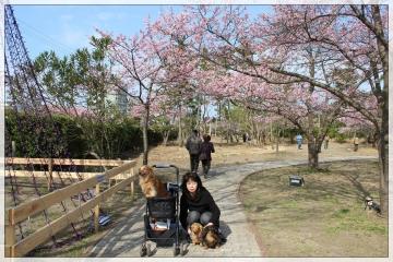 H28022714しらこ桜祭り