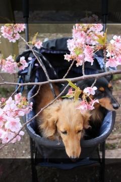 H28022718しらこ桜祭り