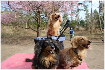 H28022720しらこ桜祭り