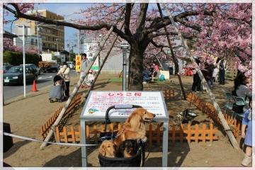 H28022719しらこ桜祭り
