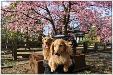 H28022721しらこ桜祭り
