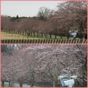 H28040206成田市さくらの山公園