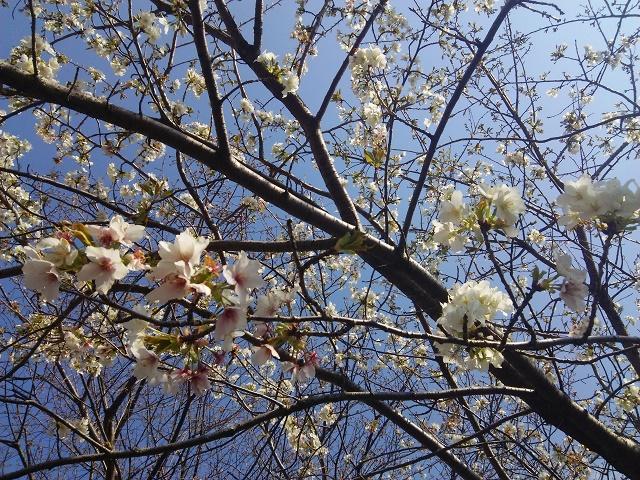 280229桜3