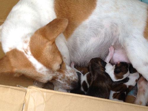 犬の七つ子