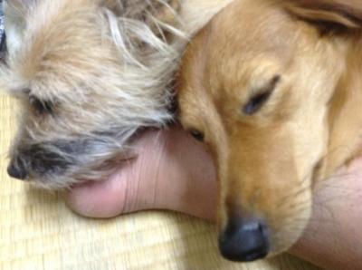 愛犬サンシン サンバ