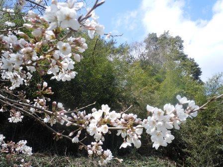 桜1(2016-03-26)