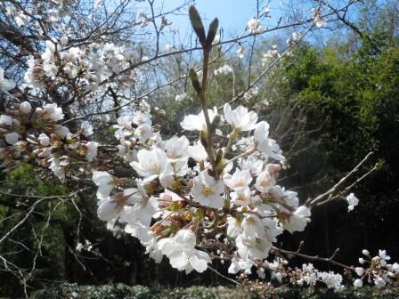 桜2(2016-03-26)