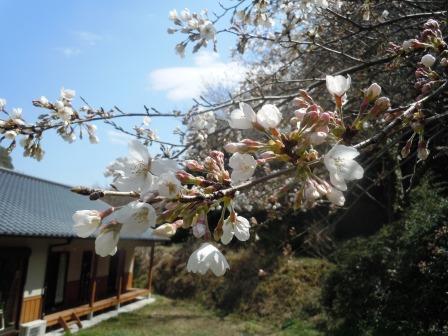 桜6(2016-03-26)