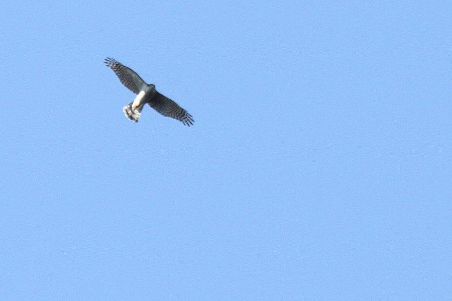 ハイタカ2016-2-11-7-TT高槻市-摂津峡IMG_1508