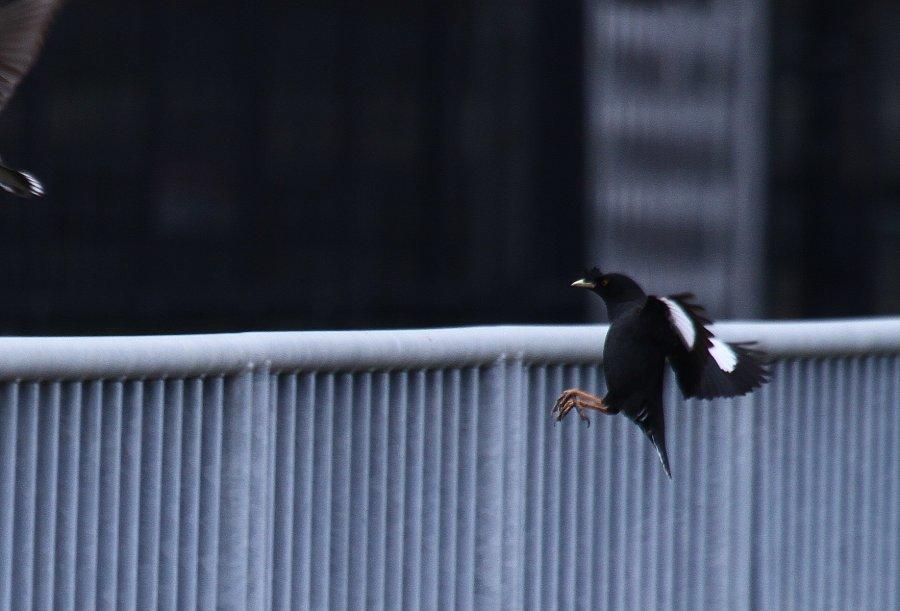 ハッカチョウ2016-3-16-3-TT高槻市-芥川IMG_0551