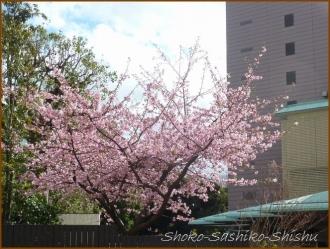 20160224  桜  春