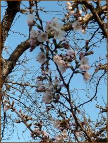 20160321  桜  4  開花