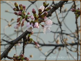 20160321  桜  6  開花