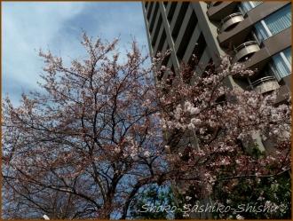 20160329  桜  3  まだ桜
