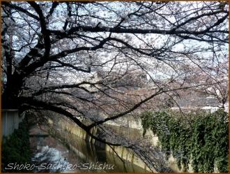 20160329  桜  4  まだ桜