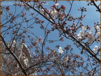 20160329  桜  5  まだ桜