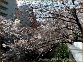 20160329  桜  6  まだ桜