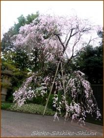 20160331  桜  1   花より