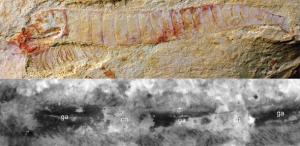 Chengjiangocaris kunmingensis