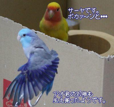 アオ君の羽