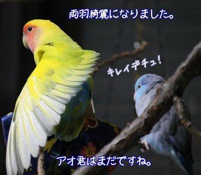 羽根生え変わり完了2