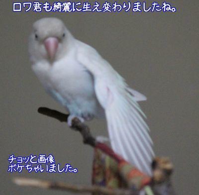 羽根生え変わり完了3