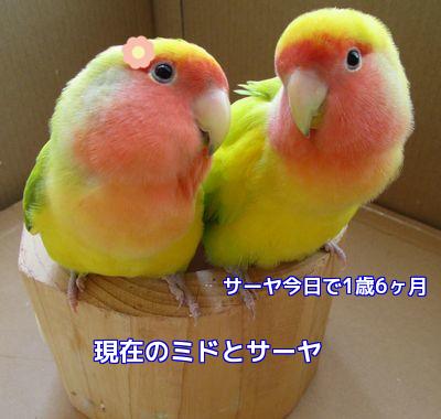 ミドとサーヤ