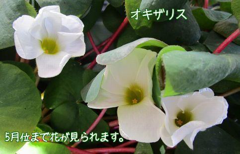 オキザリスの白