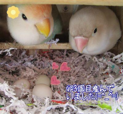 レーヌ3個目卵1