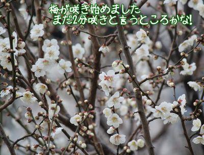 梅が2分咲き