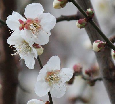 梅が2分咲き2