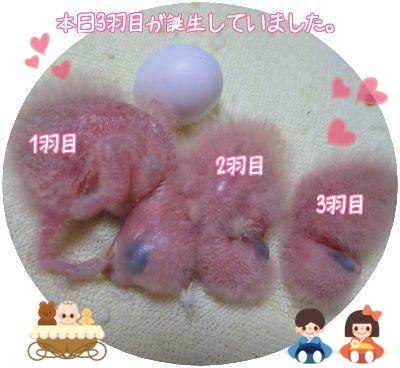 3羽目誕生