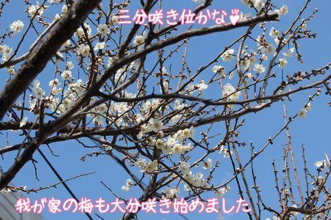 梅の花3分咲き!