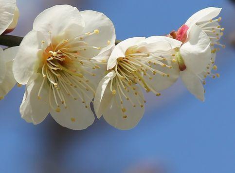 梅の花3分咲き!3