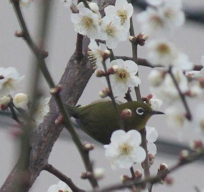 梅にメジロ1