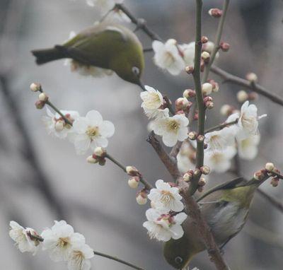 梅にメジロ4