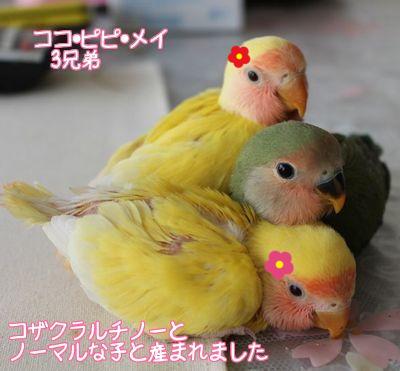 ココ・ピピ・メイ3兄妹