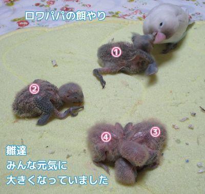 4羽の雛達1