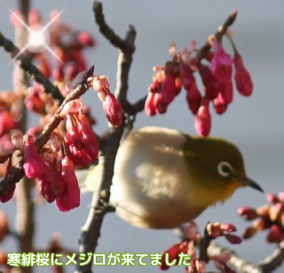 寒緋桜にメジロ