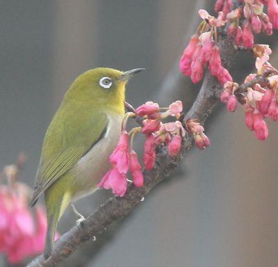 メジロと寒緋桜2