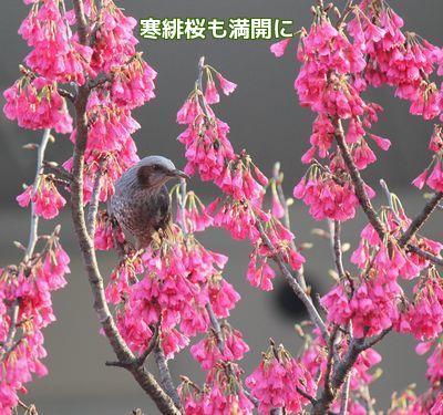 寒緋桜にヒヨドリ